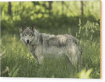 Timber Wolf Wood Print by Josef Pittner