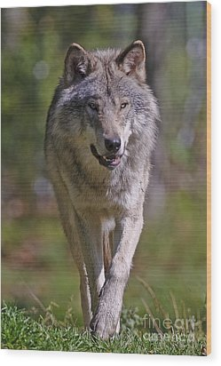 Wood Print featuring the photograph Timber Wolf  by Wolves Only