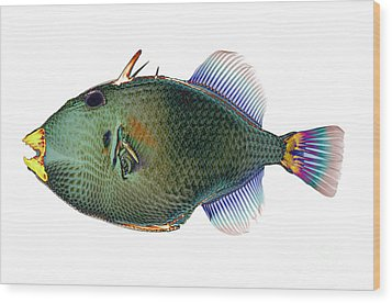 Triggerfish X-ray Wood Print by D Roberts