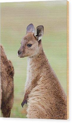 Western Grey Kangaroo (macropus Wood Print
