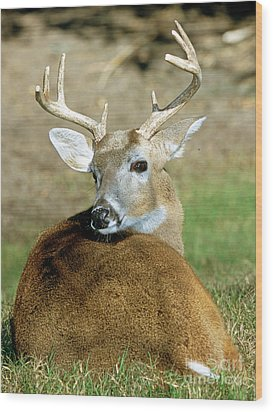 White-tailed Deer Odocoileus Virginianus Wood Print by Millard H. Sharp