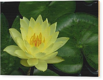 Yellow Waterlily Flower Wood Print