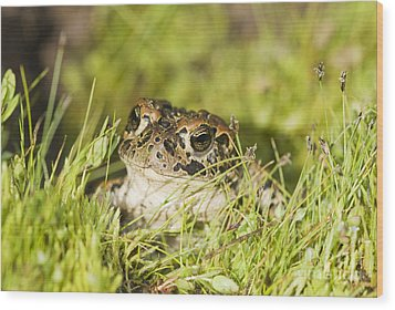 Yosemite Toad Wood Print by Dan Suzio