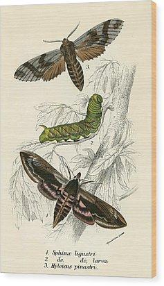 Butterflies Wood Print by English School
