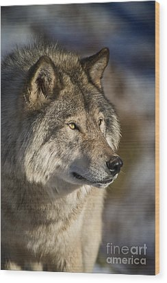 Timber Wolf Pictures Wood Print by Michael Cummings