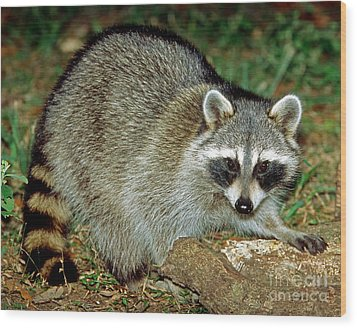 Raccoon Wood Print by Millard H. Sharp