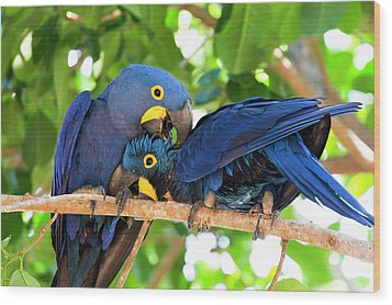 Brazil, Mato Grosso, The Pantanal Wood Print