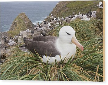 A Black Browed Albatross Wood Print by Ashley Cooper