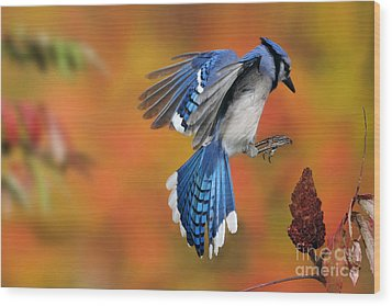 Blue Jay Wood Print by Scott Linstead
