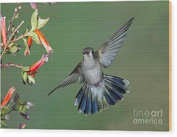 Broad-billed Hummingbird Wood Print by Anthony Mercieca