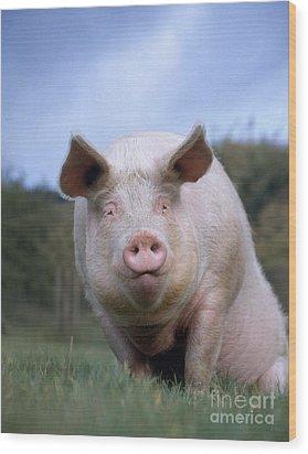 Domestic Pig Wood Print by Hans Reinhard
