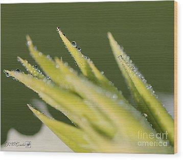 Dwarf Canna Lily Named Ermine Wood Print by J McCombie