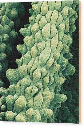 Flower Pistils, Sem Wood Print by Science Photo Library