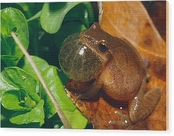Frog Wood Print by David Davis