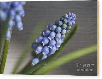 Grape Hyacinth Wood Print by Nailia Schwarz