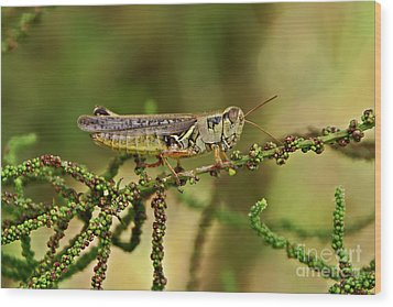 Wood Print featuring the photograph Grasshopper by Olga Hamilton