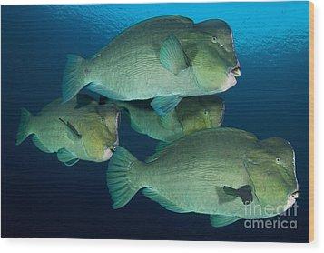 Large School Of Bumphead Parrotfish Wood Print by Steve Jones