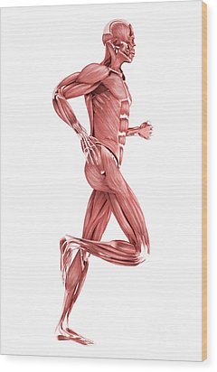 Medical Illustration Of Male Muscles Wood Print by Stocktrek Images