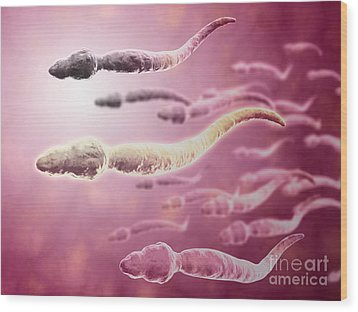 Microscopic View Of Sperm Traveling Wood Print by Stocktrek Images