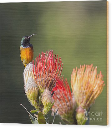 Orange-breasted Sunbird Wood Print