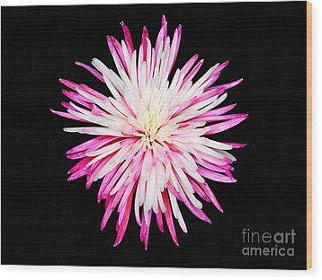 Pink Chrysanthemum Flower Isolated On Black Background. Macro  Wood Print