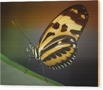 Wood Print featuring the photograph Resting Butterfly by Zoe Ferrie