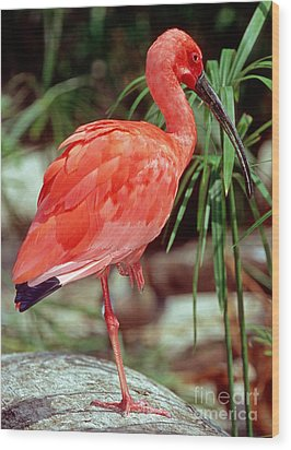 Scarlet Ibis Wood Print by Millard H. Sharp