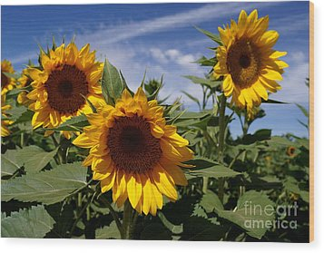 3 Sunflowers Wood Print by Kerri Mortenson
