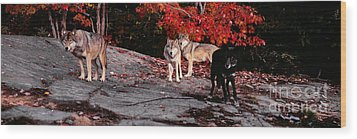 Timber Wolves Under A Red Maple Tree - Pano Wood Print by Les Palenik