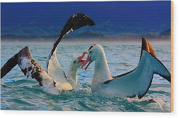 Wandering Albatross Wood Print by Amanda Stadther