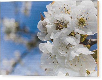 White Cherry Blossoms Blooming In The Springtime Wood Print by Nila Newsom