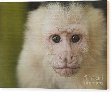 White-faced Capuchin Wood Print by Dan Suzio