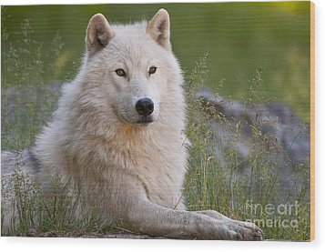 Arctic Wolf Wood Print by Wolves Only