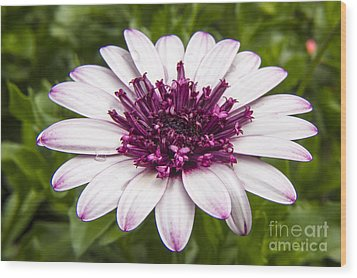 3d Berry White Cape Daisy - Osteospermum  Wood Print