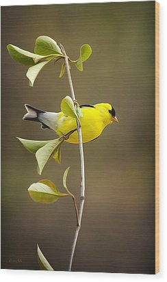 American Goldfinch Wood Print by Christina Rollo