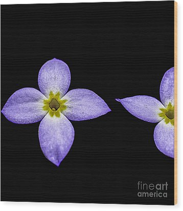 Bluets Wood Print by Thomas R Fletcher