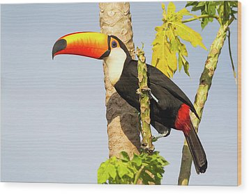Brazil, Mato Grosso, The Pantanal, Toco Wood Print
