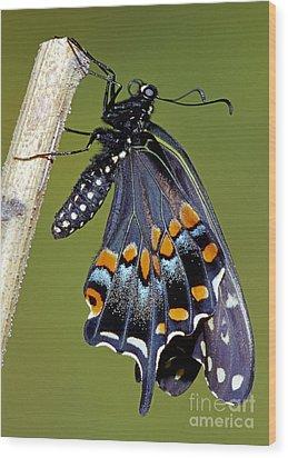 Eastern Black Swallowtail Metamorphosis Wood Print by Millard H. Sharp