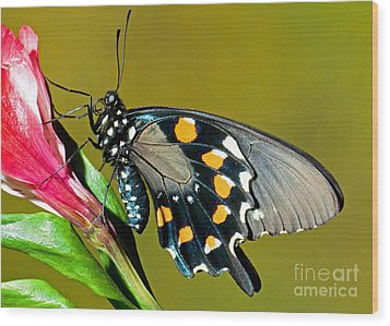Pipevine Swallowtail Butterfly Wood Print by Millard H. Sharp