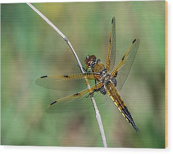 4-spotted Chaser Wood Print