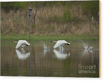 Trumpeter Swans Cygnus Buccinator Wood Print by Linda Freshwaters Arndt