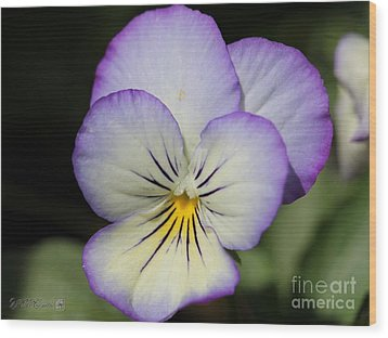 Viola Named Sorbet Lemon Blueberry Swirl Wood Print by J McCombie