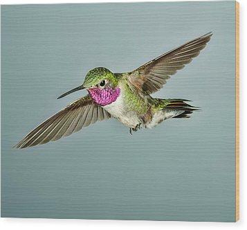Broadtail Hummingbird Wood Print by Gregory Scott