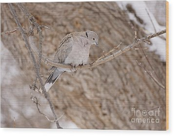 Euarsian Collard Dove Wood Print by Lori Tordsen