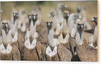 Griffon Vultures Wood Print by Nicolas Reusens