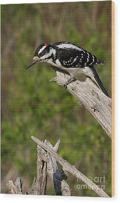 Male Hairy Woodpecker Wood Print by Linda Freshwaters Arndt
