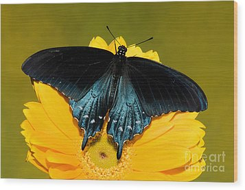 Pipevine Swallowtail Butterfly Wood Print by Millard H. Sharp