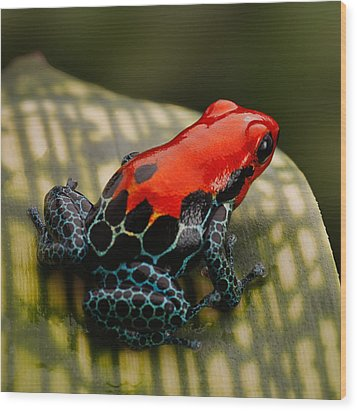 Red Poison Dart Frog Wood Print by Dirk Ercken