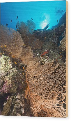 Sea Fan And Tropical Reef In The Red Sea. Wood Print by Stephan Kerkhofs