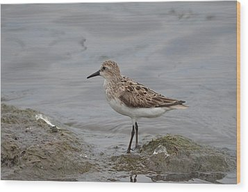 Wood Print featuring the photograph Semipalmated Sandpiper by James Petersen